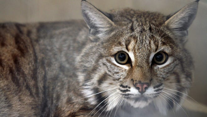 Rocky, a bobcat hybrid at the center of controversy in Stafford, looks out from his pen at the Popcorn Park Zoo in Lacey in this April file photo.