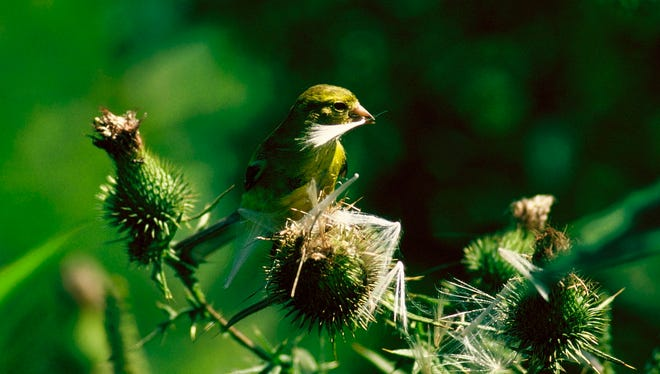 This Iowa goldfinch makes use of thistle down for nest material, and thistle seeds to feed its late-summer young.