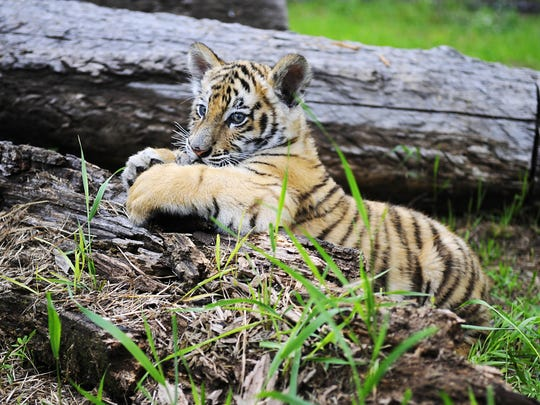 A baby Siberian tiger hangs out Thursday at Pine Grove Zoo in Little Falls. He is the first baby tiger Pine Grove Zoo has had in over 100 years. The zoo staff will pick their top five name suggestions and the public can vote for their favorite name Wednesday-Saturday. The winning name will be announced on Facebook on Sunday.