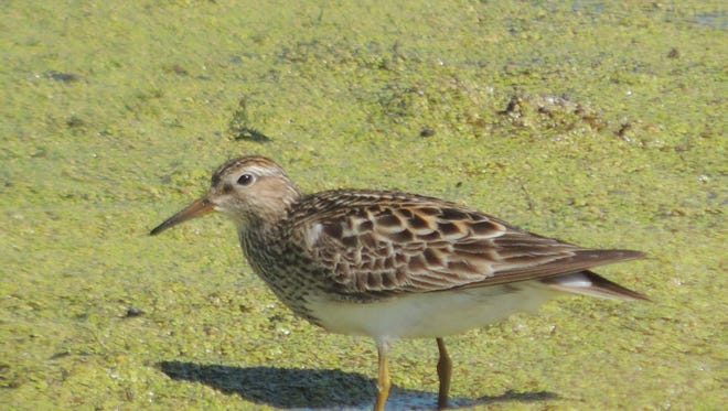 A sandpiper photographed at Horicon Marsh in 2013.