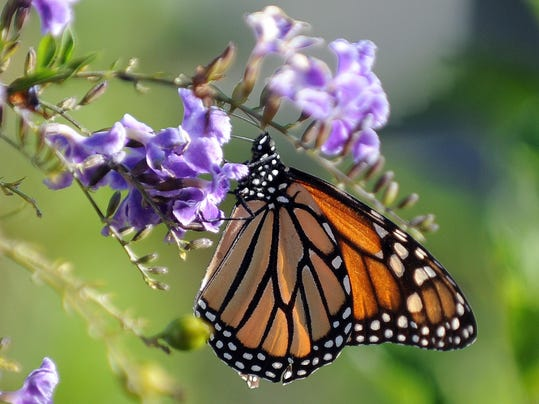 US-BUTTERFLY-MONARCH