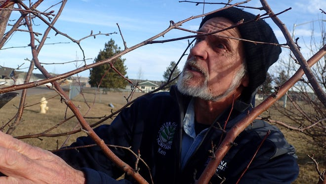 Ken Roberts checks the branches on a shrub to determine what needs to be pruned. Winter, when deciduous trees and shrubs lose their leaves, is a great time for the chore.