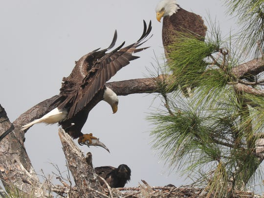 One of the eagles from Southwest Florida Eagle Cam fame comes in with a meal for the eaglets at Dick Pritchett Realty on Thursday. The famous eaglets are reaching almost 2 months in age. They are growing quickly and can be seen testing their wings.
