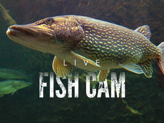 Better than a video yule log michigan hatchery 39 fish cam 39 for Fish hatchery michigan