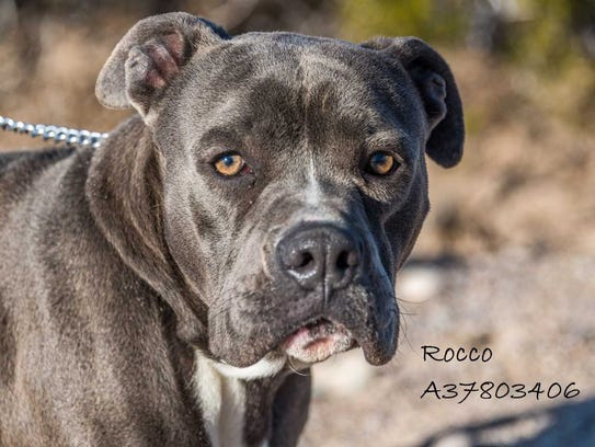 Rocco - Male pitbull mix, adult. Intake date:2/7/2018