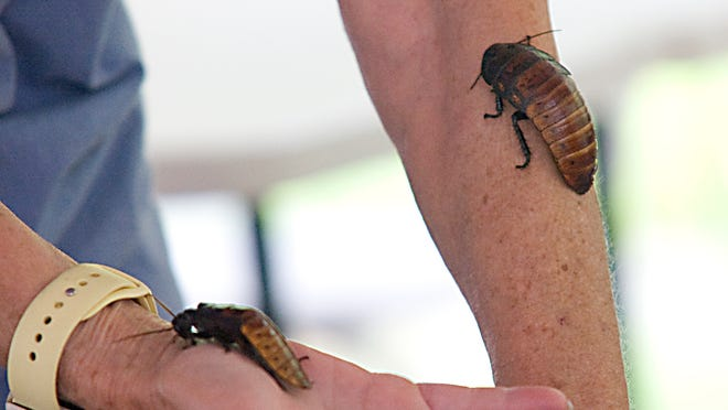 Nancy Baker-Cazan, Education Director for Beech Creek Botanical Gardens and Nature Preserve, handles two Madagascar Hissing Cockroaches during the Critter Features program Monday July 13, 2020. Michael Skolosh, Special to The Alliance Review