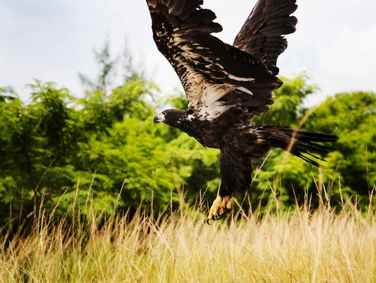 A juvenile bald eagle was released back to wild by
