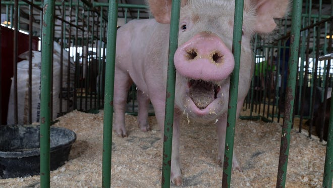 A pig in the swine barn Saturday, June 20, 2015, during the Wayne County 4-H Fair in Richmond.