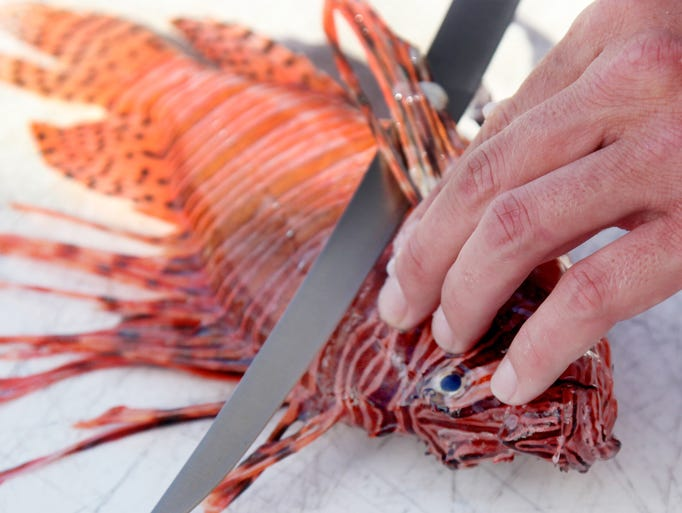 Mike Campbell, of Lee Reefs, prepares to fillet a lionfish at Cape Harbour on Thursday. The lionfish Campbell caught spearfishing 30 miles offshore will be used at the Lee Reefs Lionfish Fest on Sunday.