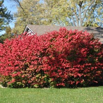 Dr. Dirt: Pruning will keep dwarf burning bushes small