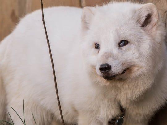 Archer, an arctic fox, lives in Battle Creek.