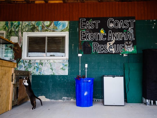 A cat jumps to the counter at East Coast Exotic Animal Rescue on Saturday June 11, 2016 in Fairfield. The animal rescue has opened to the public once again after being closed for two years.