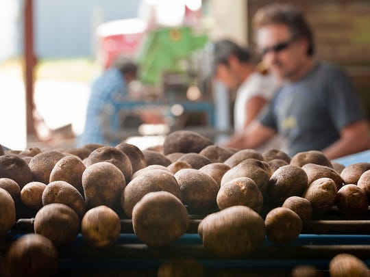 Workers at a potato farm near Coloma, WI., pick through harvested potatoes as they come down a conveyer system on Sept. 4, 2009.