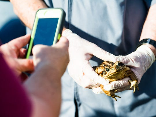 Dr. John Lanier of the Golden Gate Animal Clinic holds a cane toad during the FWC's Exotic Pet Amnesty Day at the Naples Zoo on Nov. 5, 2016.