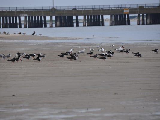 coastal bays skimmers