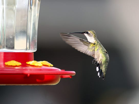 Wave after wave of migrating hummingbirds flew into