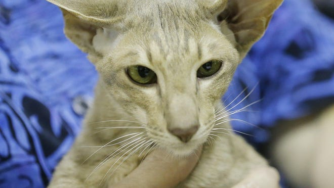 This kitty was one of many featured at the Cat Fanciers' Association's Great Lakes Regional Awards Show at the John S. Knight Center in Akron on June 8, 2019.