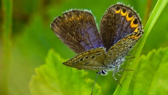 Female Karner Blue Butterfly