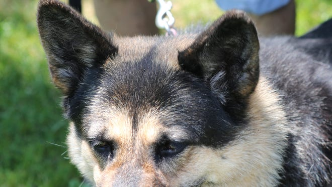 Bella, an 8 1/2  year old shepard mix, is seen at Pets Alive in Elmsford Aug. 12, 2015. The Westchester facility will be closing and they need to find homes for dozens of dogs and cats.