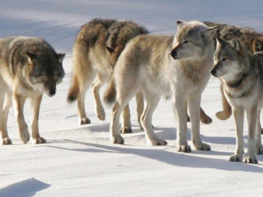 Gray_Wolves_2006