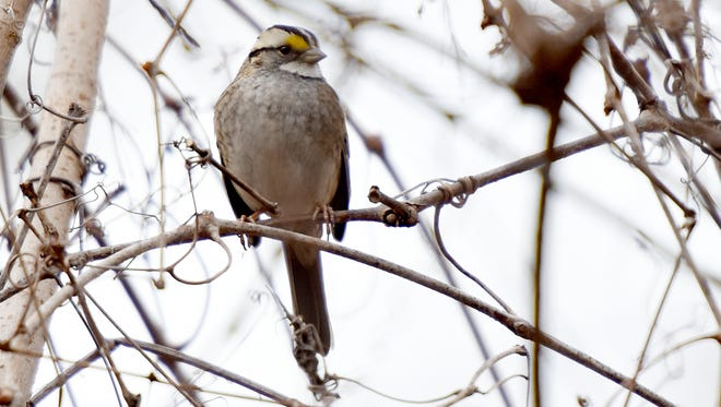 A white-throated sparrow seen Sunday at the Teaneck Creek Conservancy during the 20th annual Great Backyard Bird Count.
