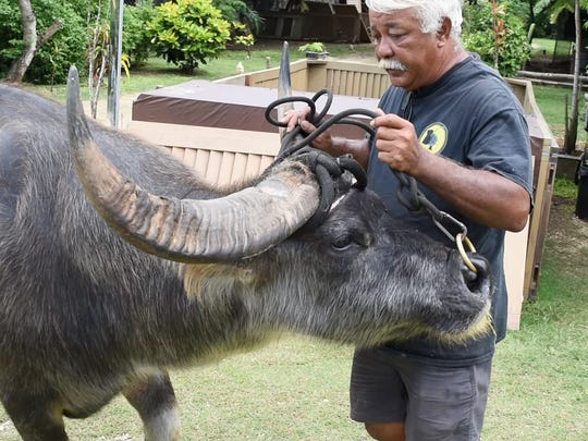 """John Ray Aguon, shown in this July 10, 2017, file photo, has offeredcarabao rides at Chamorro Village since 1994. The Night Market has been hit hard by the decline in tourism caused by the coronavirus pandemic. """"We're all losing money,"""" he said."""