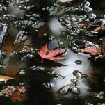 File photo of fallen leaves at Thousand Acre Swamp.
