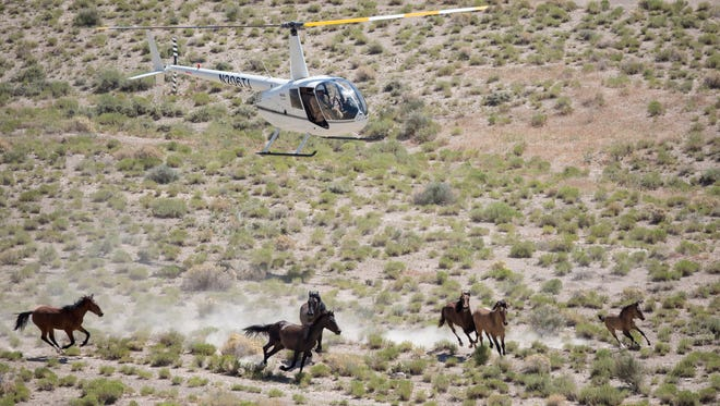 A BLM-contracted helicopter crew rounds up horses from western Utah's Conger Herd in early July.