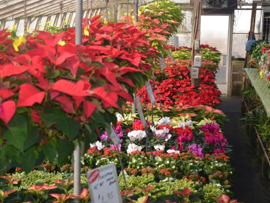Poinsettias at Jeff's Greenhouses in Sussex County.