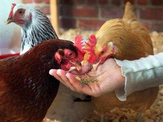 636329608705777608-chicken.jpg