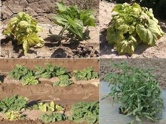 Beet curly top virus on bean (upper left), pumpkin (upper right), spinach (lower left), and tomato (lower right).
