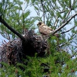 A red-tailed hawk guards her nest in the Black Bayou Lake National Wildlife Refuge. Saturday the refuge hosts Bird Fun for Families from 10 a.m.-1 p.m. to learn about birds for the Great Backyard Bird Count.