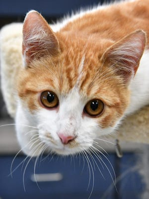 Butterscotch is an 8-month-old, red and white, male, domestic shorth-haired cat. He is playful, friendly and available for adoption at the Wichita Falls Animal Services Center.