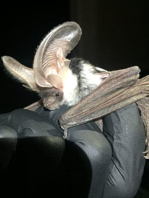 A researcher holds a rare spotted bat captured June 20, 2018 in Railroad Valley, Nev.