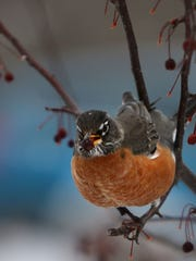 This robin, Wisconsin's state bird, is more than ready