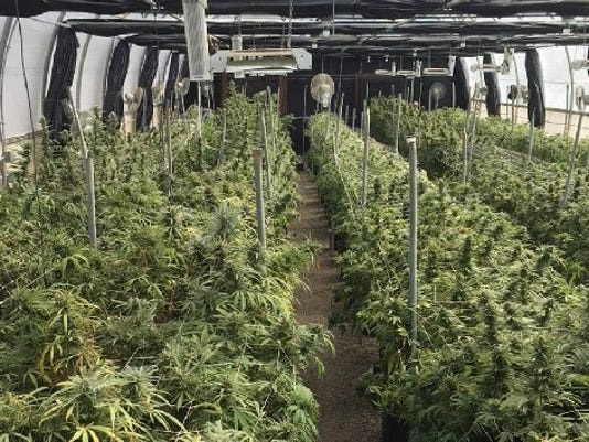 A marijuana growing operation in Fillmore
