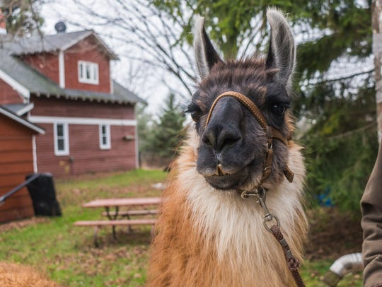 Abstract, also known as Lucky Llama, lives at KeLe