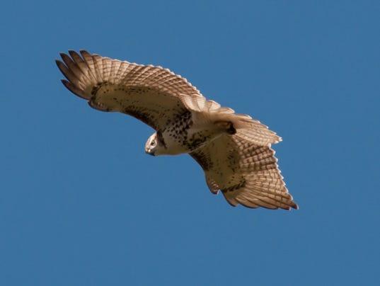 Red-tailed-Hawk.-Photo-by-Renee-Zernitsky.jpg