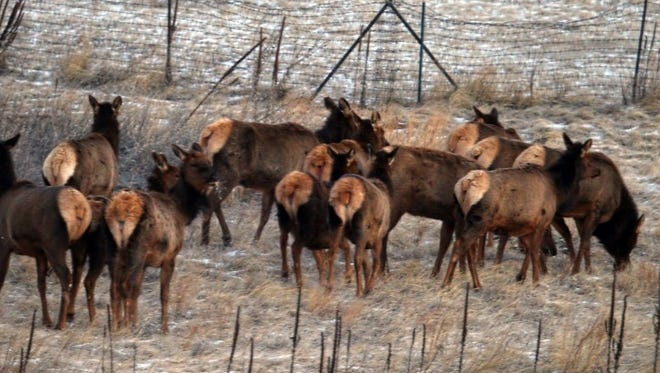 The rear display of elk make them easy to identify.