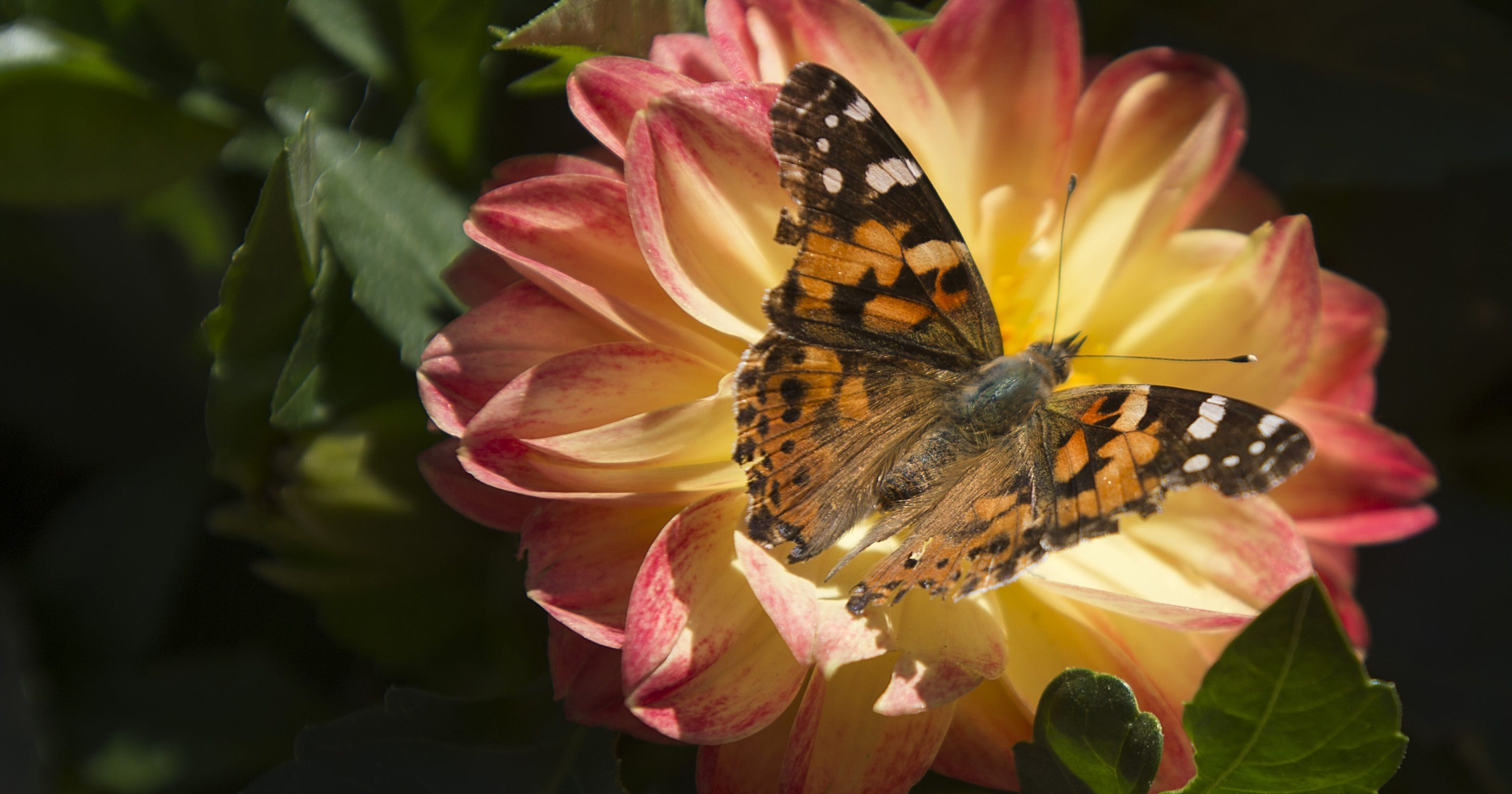 Why Southern California is experiencing a burst of butterflies