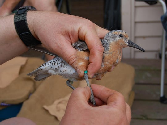 A red knot gets a leg band, which will allow scientists to monitor the movement of the bird.