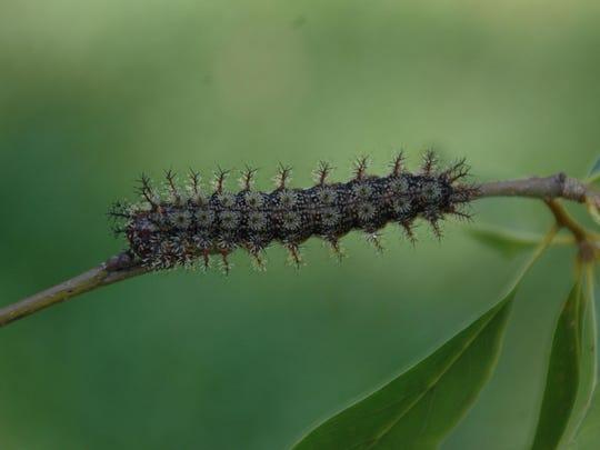 buck moth caterpillarjpg