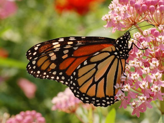 Monarch Butterfly Milkweed 2
