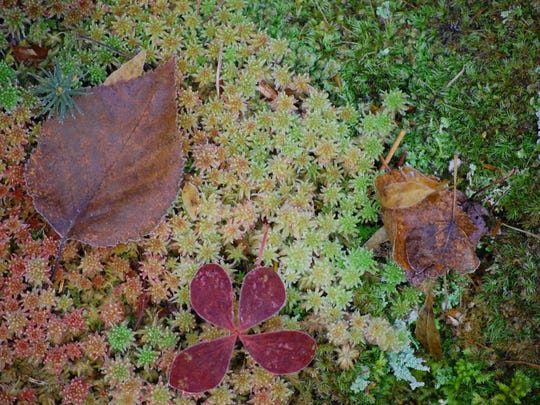 Autumn leaves touched by frost on a forest carpet in Oneida County