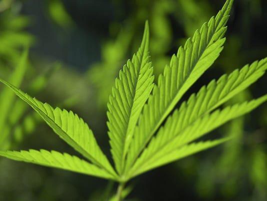 backlit marijuana leaf
