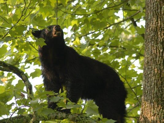 Black Bear, Sam Hobbs.jpg