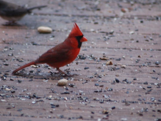 Cardinals stay in Delaware year round.