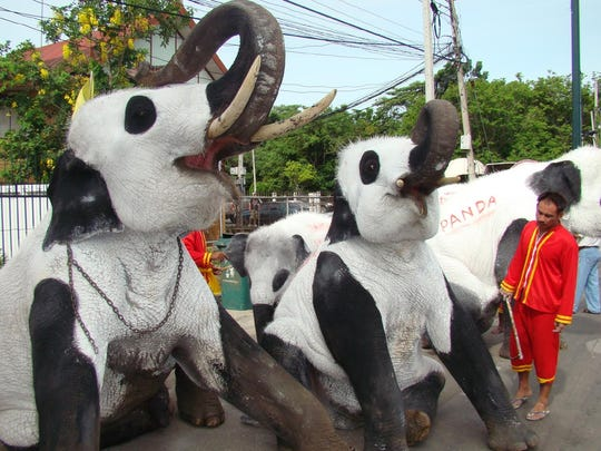 A staff member at the Ayutthaya, Thailand Elephant Kraal looks at three elephants painted to resemble Pandas in 2009.