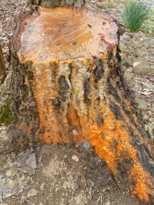 As spring sap began flowing, the fresh stump of this river birch turned into an orange-and-white Tennessee Vols fountain.
