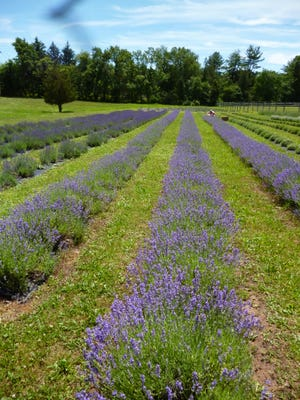 To satisfy the growing demand for their lavender products, Hidden Spring Farm will plant an additional acre of lavender in 2015.